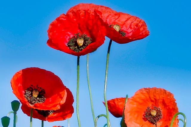 Klatschmohn, Flower, Poppy, Red, Poppy Flower, Blossom