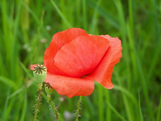 Red Poppy, Meadow Flower, Nature