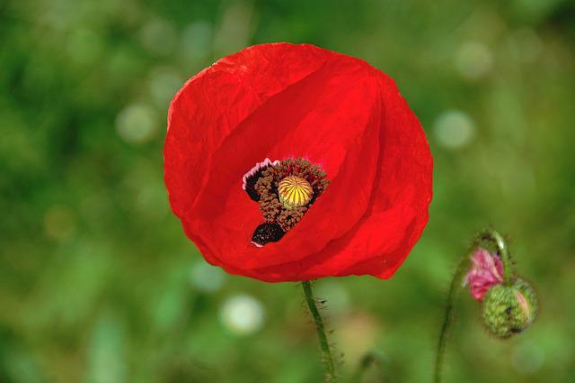 Flower, Garden, Red, Nature, Poppy