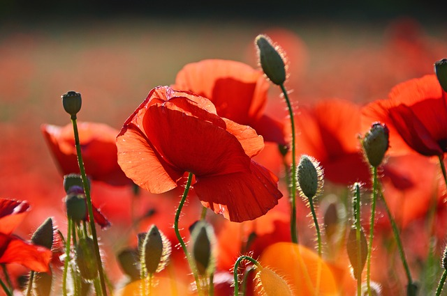 Red, Red Poppy, Poppy, Field, Meadow Flower, Nature