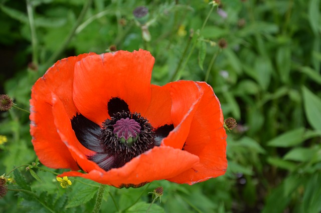 Poppy, Red, Blossom, Bloom, Red Poppy, Wild Flowers