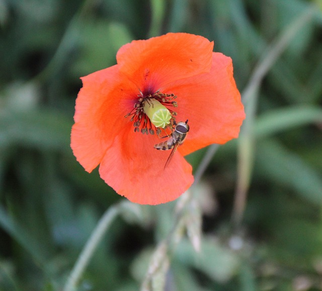 Wasp, Insect, Blossom, Bloom, Poppy, Red Poppy