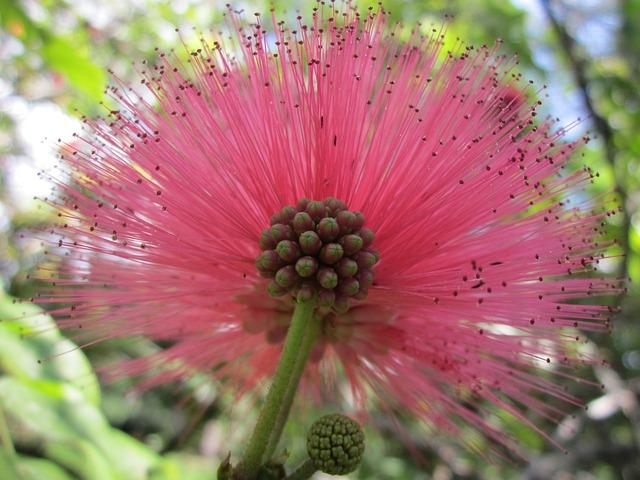 Powderpuff, Flower, Red, Hawaii