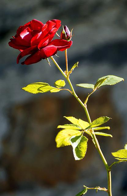 Rose, Free Land-rose, Flower, Red, Red Flowers, Plant