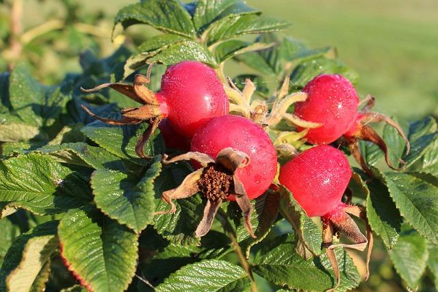 Rose Hip, Autumn, Red