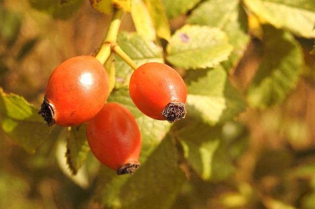 Rose Hip, Red, Wild Rose, Autumn Fruits
