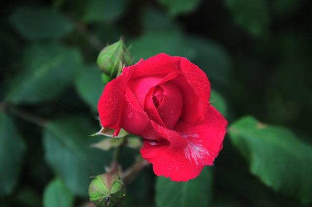 Red Rose, Red Rose Pictures, Red, Rose, Rose Official