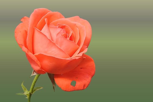 Rose, Red, Blossom, Bloom, Love, Rose Wallpaper