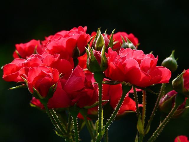 Red Roses, Rose, Roses, Backlighting, Flower, Blossom