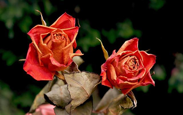 Roses, Flowers, Dried, Red Roses, Blossom, Bloom