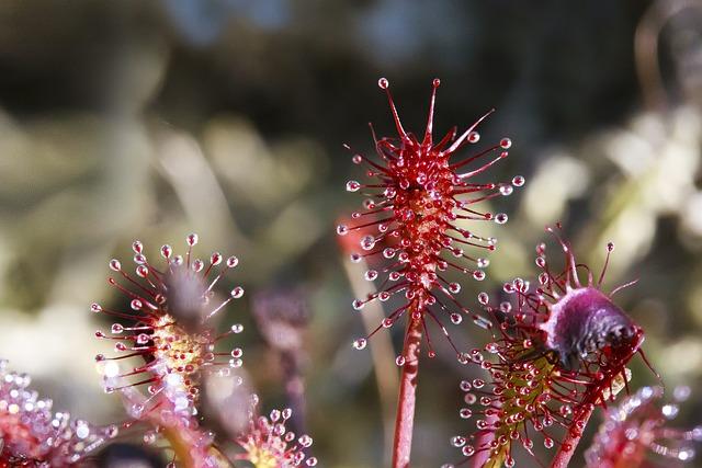 Sundew, Drosera Intermedia, Glandular Tentacles, Red