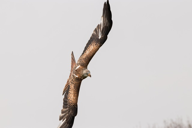 Red Tailed Kite, Bird, Wildlife, Nature, Animal, Raptor
