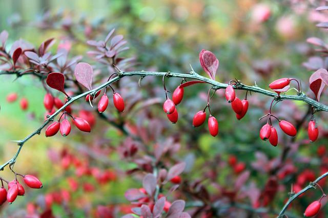 Barberry, Bush, The Fruits Of Barberry, Red