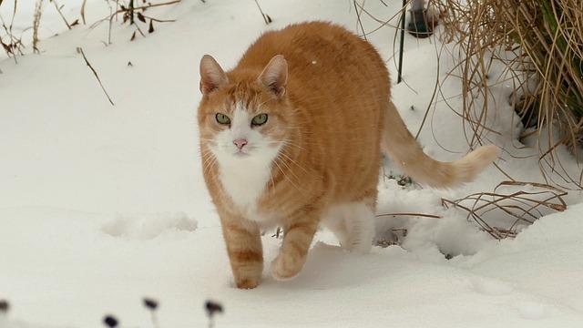Cat, Red Tomcat, Animal, Cute, Mammal, Pet