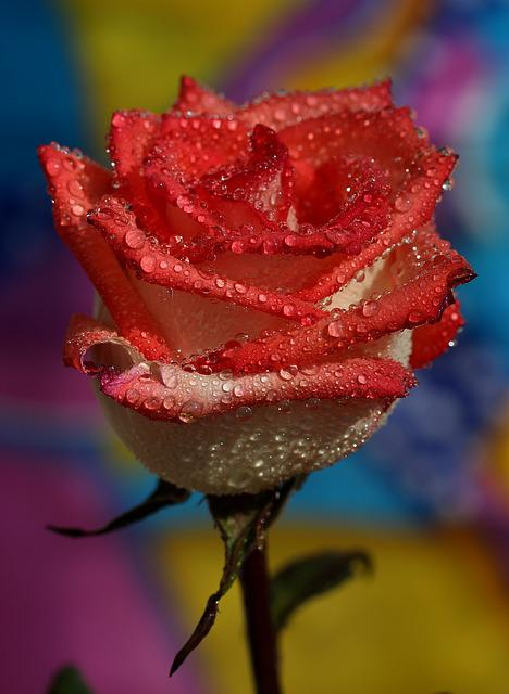 Rose, Red, Wet, Drops, Flower