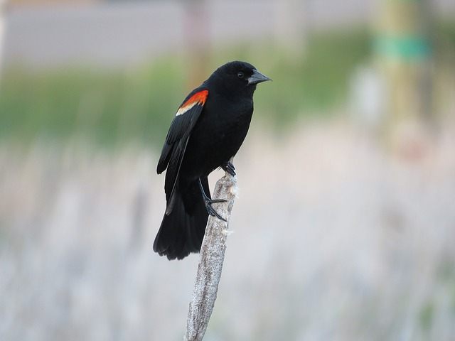 Red Winged Blackbird, Blackbird, Bird, Red-winged