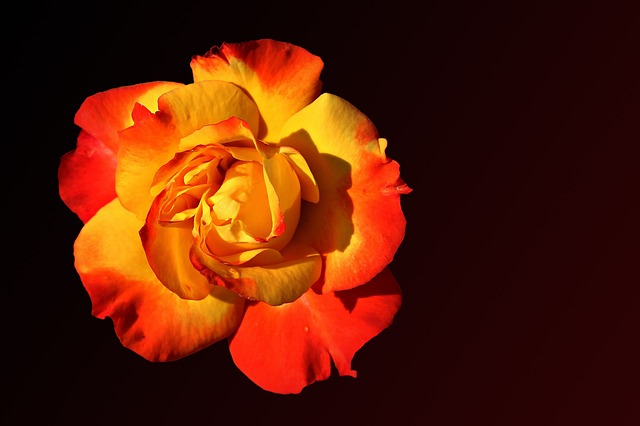 Rose, Floribunda, Blossom, Bloom, Red Yellow