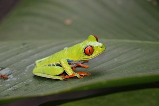 Red-eye Frog, Red-eyed Tree Frog, Frog, Red Eye, Eyes