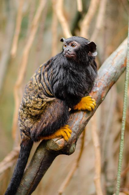 Tamarin With Red Hands, Red-handed Tamarin
