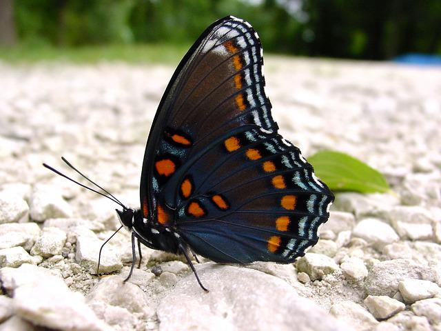 Red-spotted, Purple, Butterfly, Outdoors, Macro