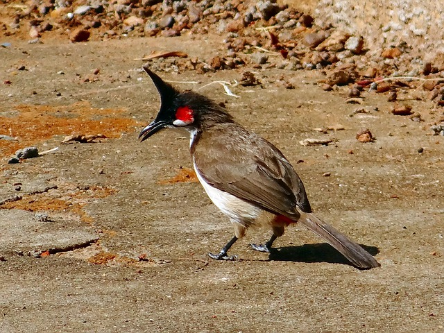 Bulbul, Red-whiskered, Bird, Fly, Wings, Feather