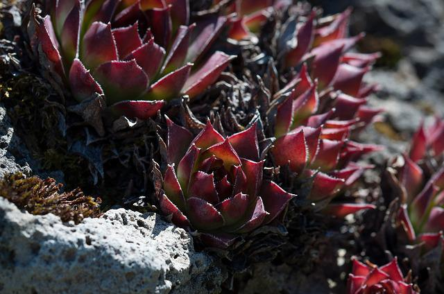 Houseleek, Plant, Reddish, Nature, Close, Stone Garden