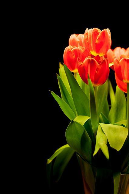 Tulips, Tulip Bouquet, Flowers, Bouquet, Reddish, Red
