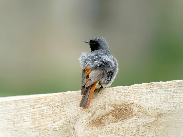 Redstart, Birds, Slovakia, Phoenicurus