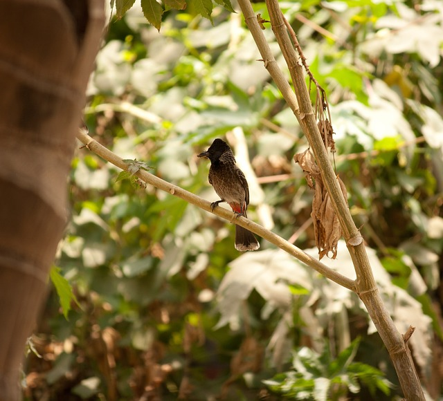 Bulbul, Redvented, Perched, Bird, Avian, Fauna, India