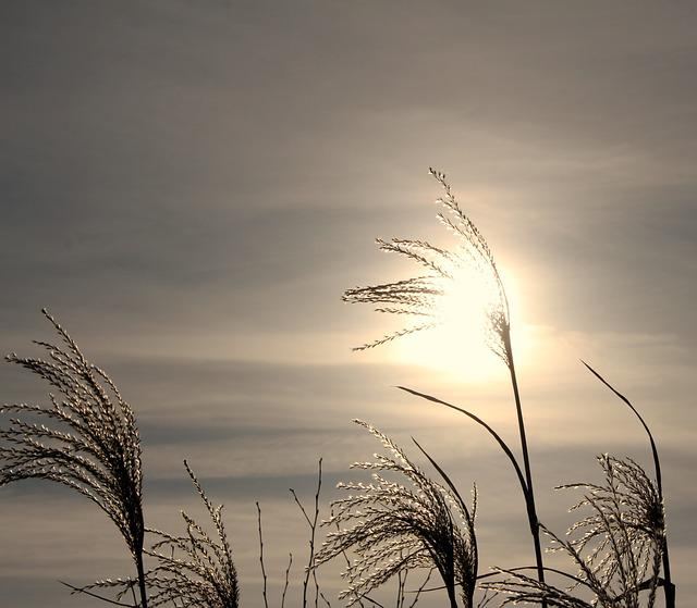 Reed, Cold, Wintry, Back Light, Winter