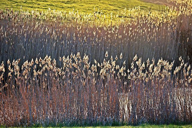 Reed, Bank, Elbe, Polabí, Water, River, Morning Light