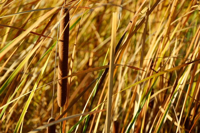 Reed, Poaceae, Phragmites, Riet, Tube, Cattail, Grass