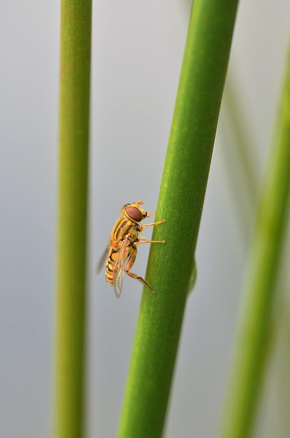 Episyrphus Balteatus, Hoverfly, Insect, Nature, Reed
