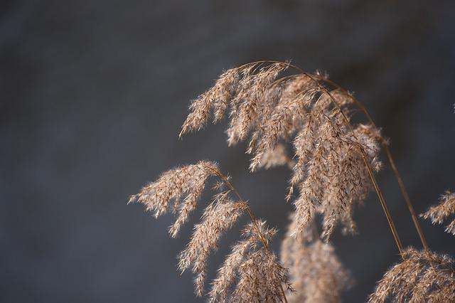 Reed, Water, Nature, Landscape, Grasses