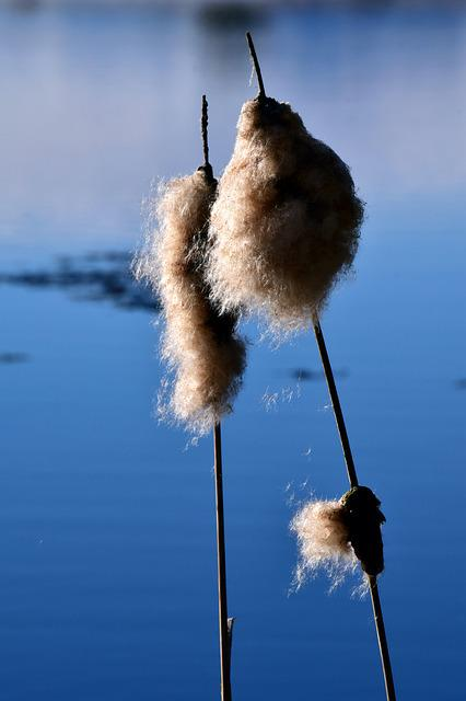 Nature, Reed, Water, Seeds, Flying Seeds, Spread