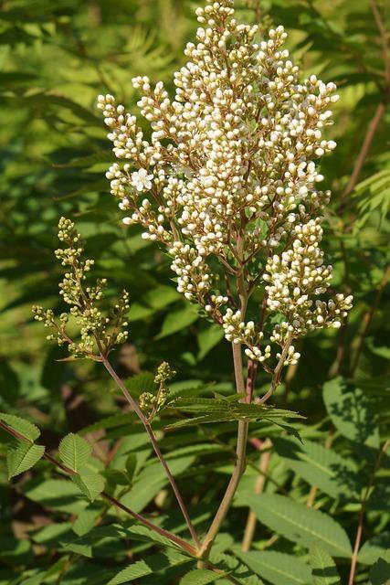 Refers Rowan-angervo, Sorbaria Sorbifolia