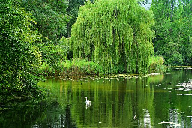 Weeping Willow, Pond, Water, Swan, Reflection, Summer
