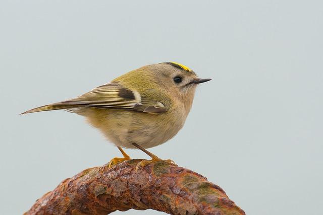 Goldcrest, Regulus Regulus, Bird, Songbird, Small