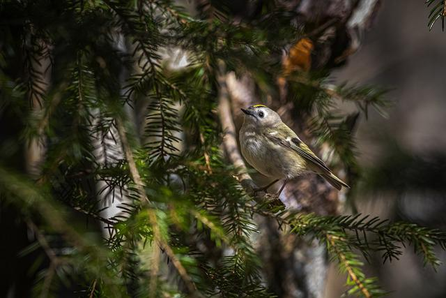 Goldcrest, Regulus Regulus, Bird, Nature, Wildlife