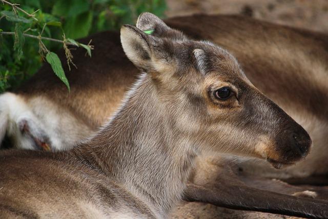Reindeer, Finland, Animal, Nature, Outside, Wildlife