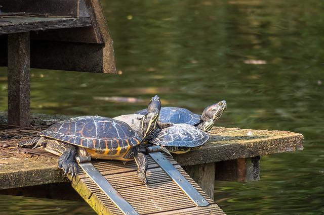 Turtle, Group, Relax, Water Turtle, Confused, Mess