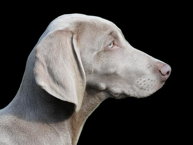 Dog, Remote Access, Weimaraner, Portrait, Profile, Pet