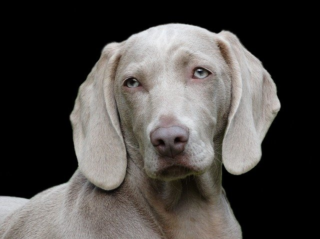Dog, Weimaraner, Portrait, Remote Access