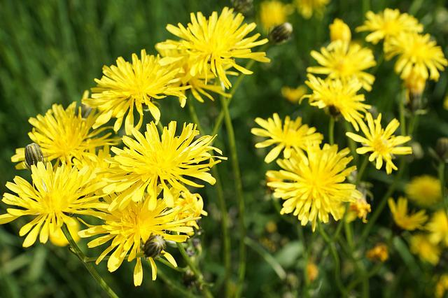 Reported Hawksbeard, Flower, Yellow, Bloom, Blossom