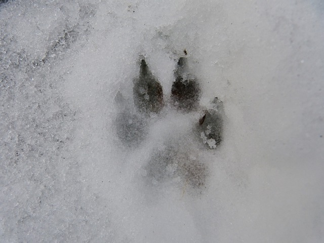 Snow, Track, Reprint, Dog, Wolf, Claw, Foot, Winter