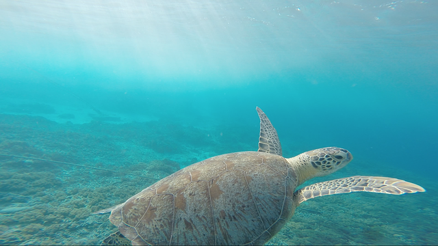 Animal, Ocean, Reptile, Sea, Sea Turtle, Seawater