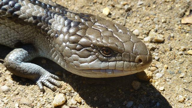 Blue Tongue Skinks, Reptile, Lizard, Australia