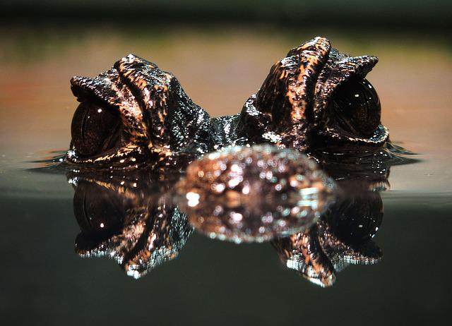 Cayman, Alligator, Reptile, Water, Animal World