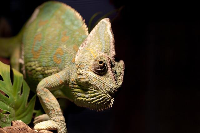 Pets, Animal, Reptile, Chameleon