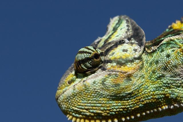 Chameleon, Reptile, Green, Chamaeleo Calyptratus, Close